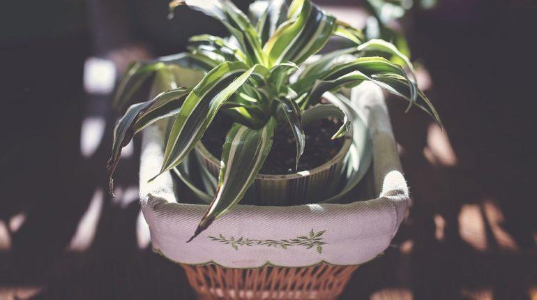 3 pokojové rostliny
