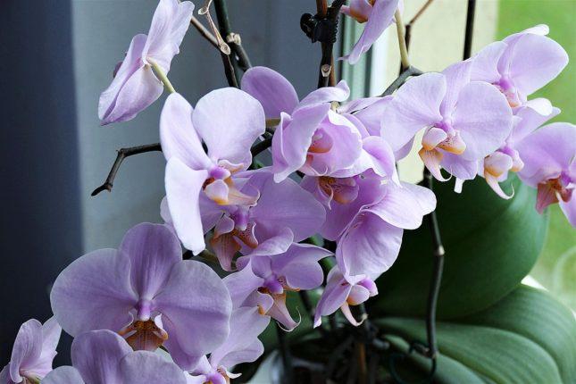 Jak správně zalévat orchideje